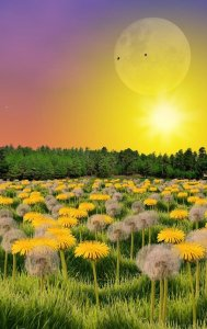 Field of dandelions in the sun